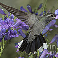 Blue-throated Hummingbird by Anthony Mercieca