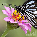 Blue Tiger Butterfly by Chris Scroggins