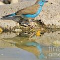 Blue Waxbill Reflection by Hermanus A Alberts