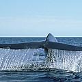 Blue Whale Tail Sea Of Cortez by Mark Jones