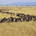 Blue Wildebeest Migrating Masai Mara by Gerry Ellis