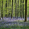 Bluebell Forest by Brothers Beerens