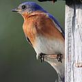 Bluebird by Douglas Stucky