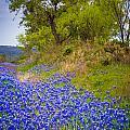 Bluebonnet Meadow by Inge Johnsson
