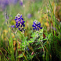 Bluebonnets On Film by Linda Unger
