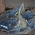 Bluejay Chicks by Jaron Wood