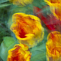 Blurred Tulips by Chevy Fleet