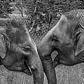 Blushing Elephants by Chakravarthy Kotaru