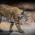 Bobcat by Elaine Malott