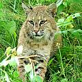 Bobcat Lynk Sitting In Grass Close-up by Sylvie Bouchard