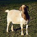 Boer Goat  by Sally Weigand