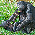 Bonobo Adult And Baby by Millard H. Sharp
