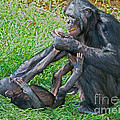 Bonobo Adult Playing With Baby by Millard H. Sharp