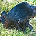 Bonobo Mother And Baby by Millard H. Sharp