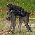 Bonobos by Millard H. Sharp