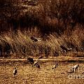 Bosque Del Apache New Mexico-sand Cranes V2 by Douglas Barnard