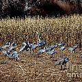 Bosque Del Apache New Mexico-sand Cranes V3 by Douglas Barnard