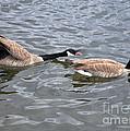 Bossy Canada Goose by Susan Wiedmann