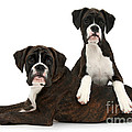 Boxer Pups by Mark Taylor