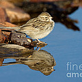 Brewers Sparrow At Waterhole by Anthony Mercieca