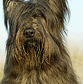 Briard Dog by Jean-Michel Labat
