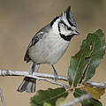 Bridled Titmouse by Anthony Mercieca