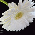Bright White Gerber Daisy # 2 by Jeannie Rhode