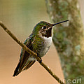 Broad Tailed Hummingbird by Les Palenik