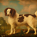 Brown And White Norfolk Or Water Spaniel by Mountain Dreams