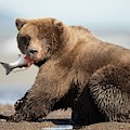 Brown Bear by Dr P. Marazzi
