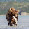 Brown Bear With Salmon by John Devries