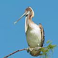 Brown Pelican by Anne Kitzman