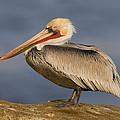 Brown Pelican Portrait California by Tom Vezo