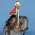 Brown Pelican Preening by Anthony Mercieca