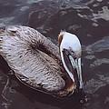 Brown Pelican by Robert Floyd