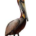 Brown Pelican-7 by Rudy Umans