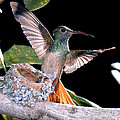 Buff-bellied Hummingbird At Nest by Anthony Mercieca