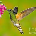 Buff-tailed Coronet Hummingbird by Anthony Mercieca