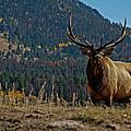 Bull Elk by Ernie Echols
