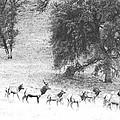Bull Elk With Harem by Frank Wilson