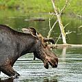 Bull Moose by Joshua McCullough