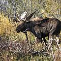 Bull Moose by Ronald Lutz