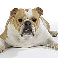 Bulldog, Female by John Daniels