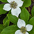 Bunchberry by John Shaw