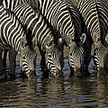 Burchells Zebra Equus Burchellii Herd by Pete Oxford