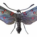 Burnet Moth by Science Photo Library