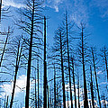 Burnt Pine Trees In A Forest, Grand by Panoramic Images