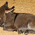 Burro Foal by Millard H. Sharp