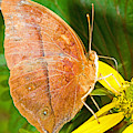 Butterfly Mimicry by Millard H Sharp