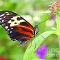 Butterfly On Bush by Dora Sofia Caputo Photographic Design and Fine Art